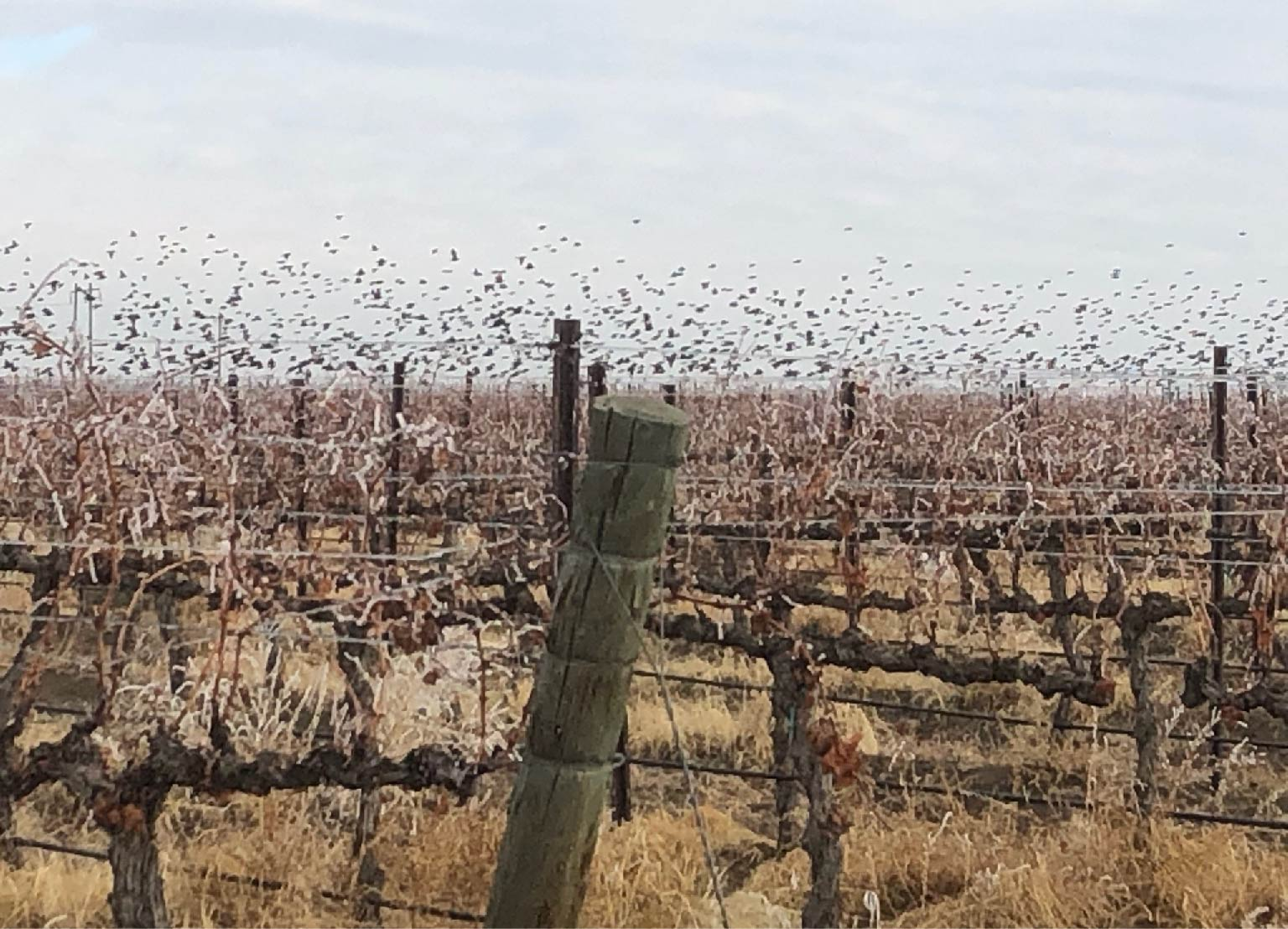 birds in vineyard